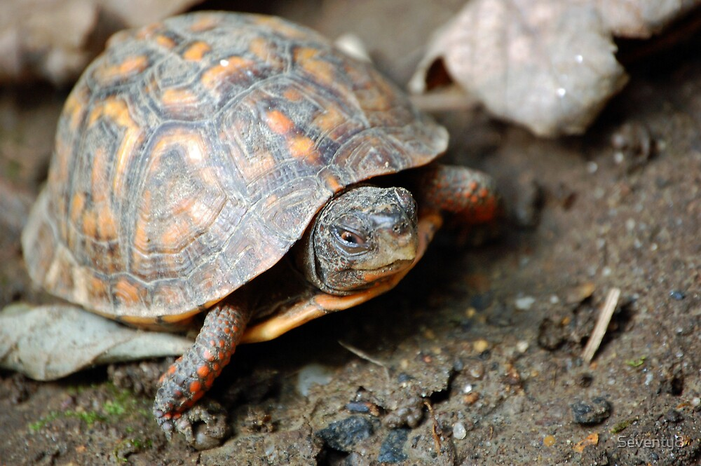 Baby Box Turtle by Seventy8