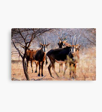 THE SABLE ANTELOPE - Hippotragus niger Canvas Print