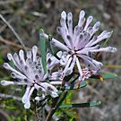 Pixie Mops (Petrophile linearis) by HG. QualityPhotography