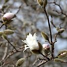 Magnolia Blossoms by Ryan McGurl