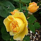 Spec's Yellow - Rose - Front Garden by EdsMum