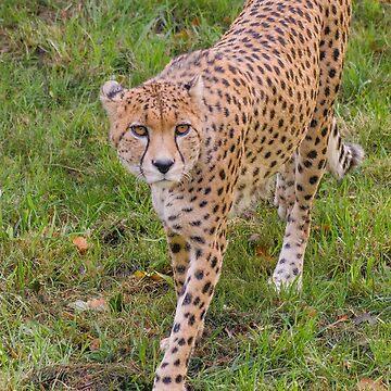 Cheetah by photosbygemmad