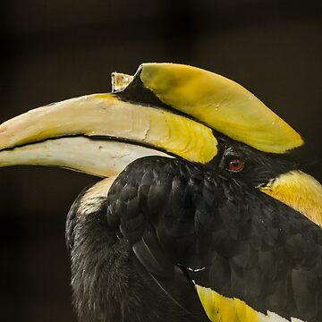 Hornbill against black by photosbygemmad