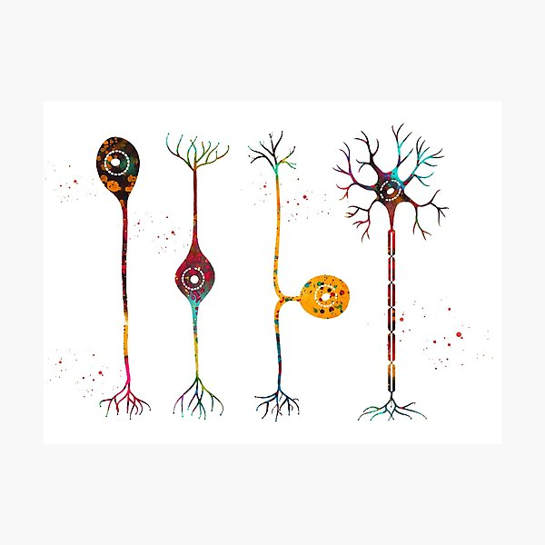 Four types of neurons Photographic Print