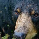 Bear close up by debfaraday