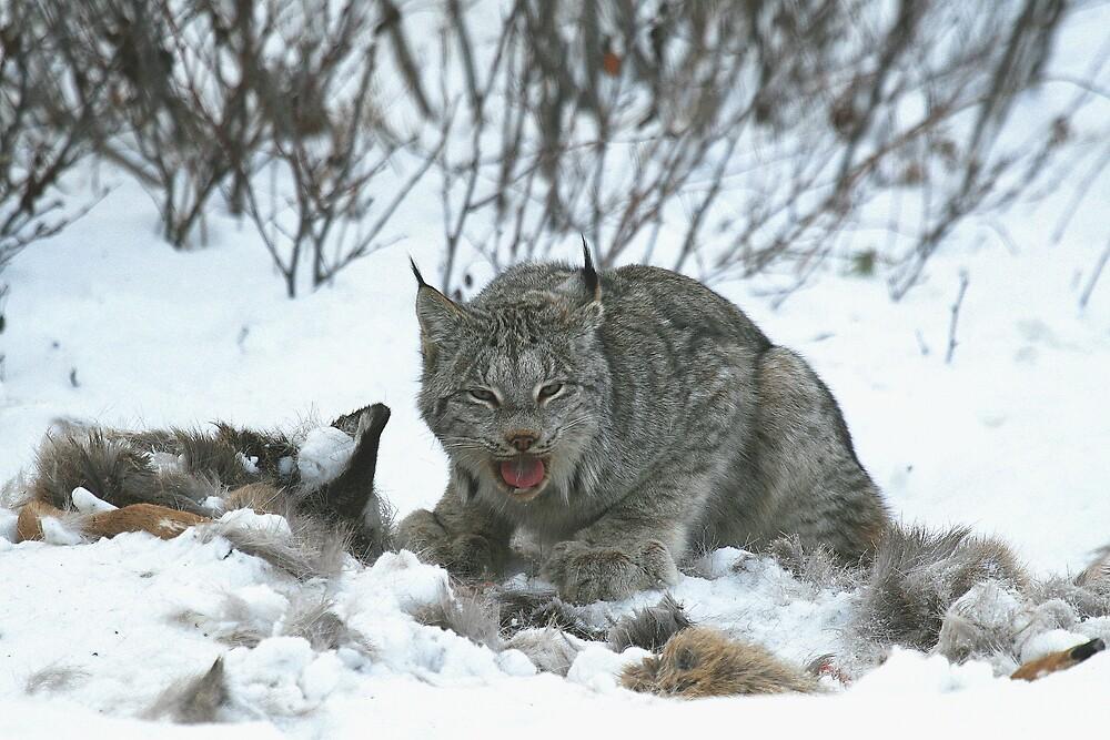 Canada Lynx by fortner