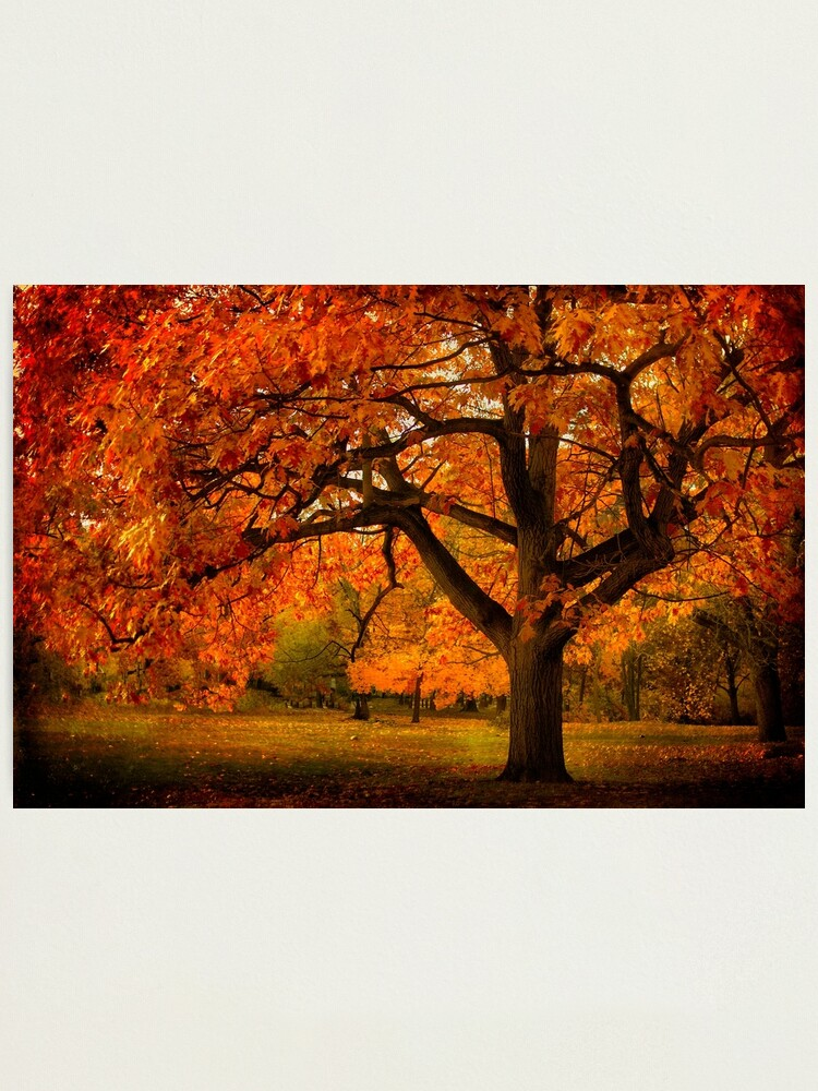 Alternate view of Red Oak Tree Photographic Print