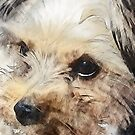 Yorkshire Terrier Sketch by Mark Salmon