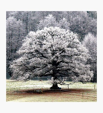 Frosted Tree Photographic Print
