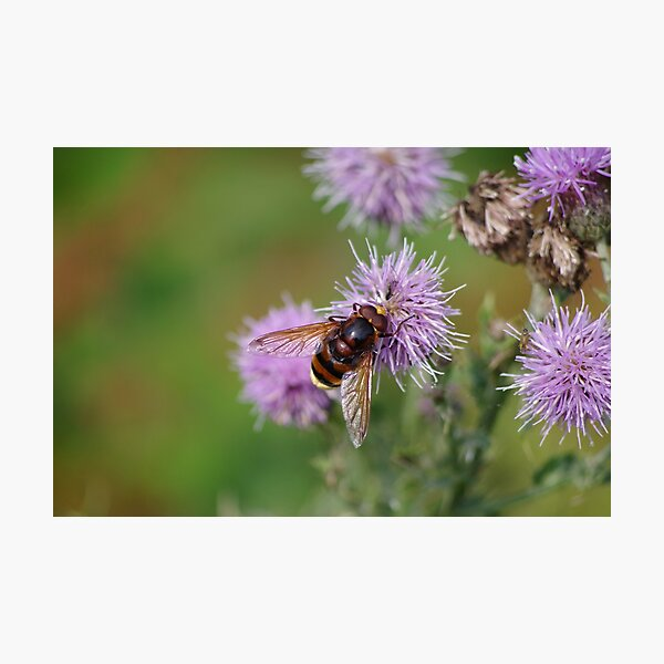 Belted Hoverfly Photographic Print