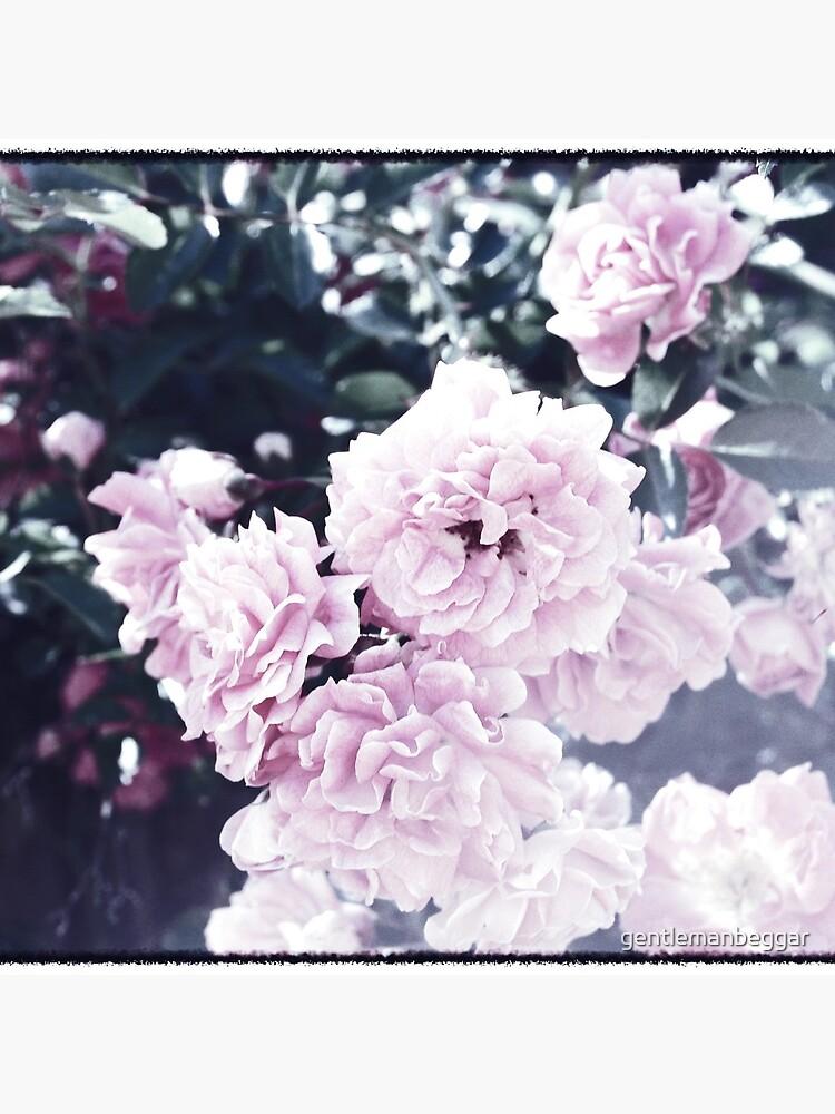 Faded  Roses by gentlemanbeggar