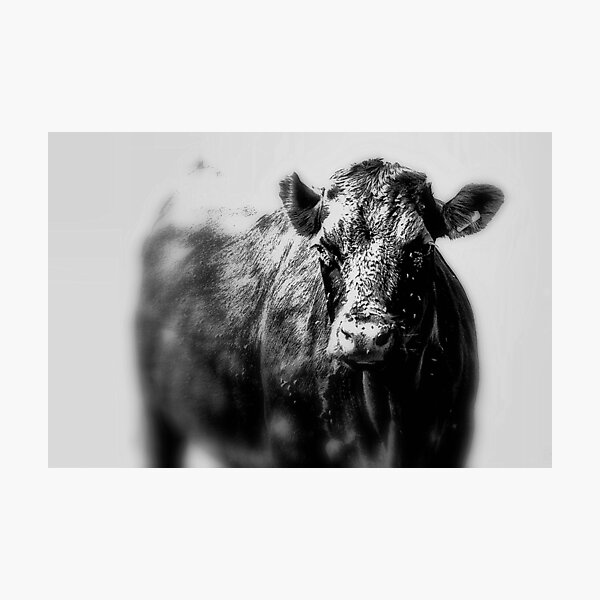 Closeup of an isolated black cow  Photographic Print