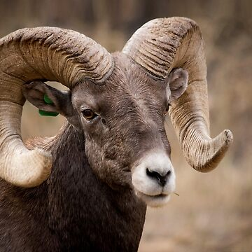 Bighorn Sheep  by valentina9