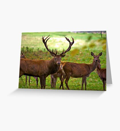 Stag & Does   (Red Deer) Greeting Card