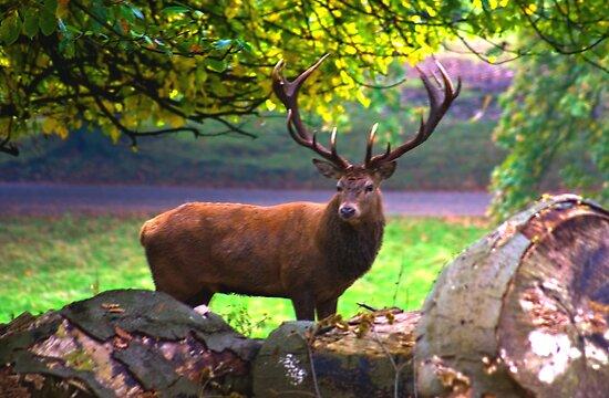 Stag #1   (Red Deer) by Trevor Kersley