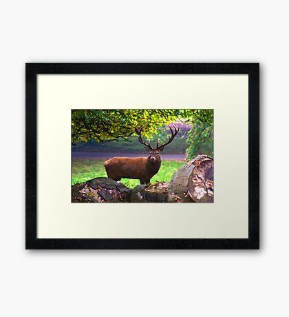 Stag #1   (Red Deer) Framed Print
