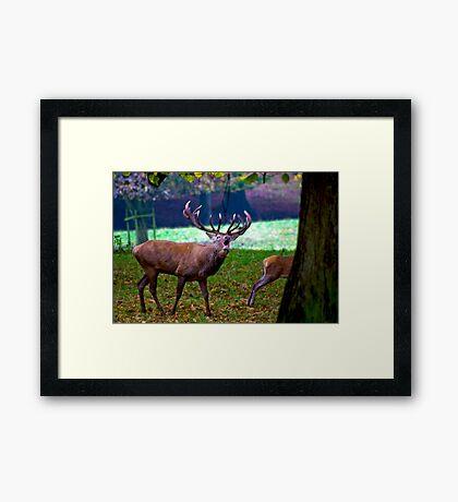 Stag #2   (Red Deer) Framed Print
