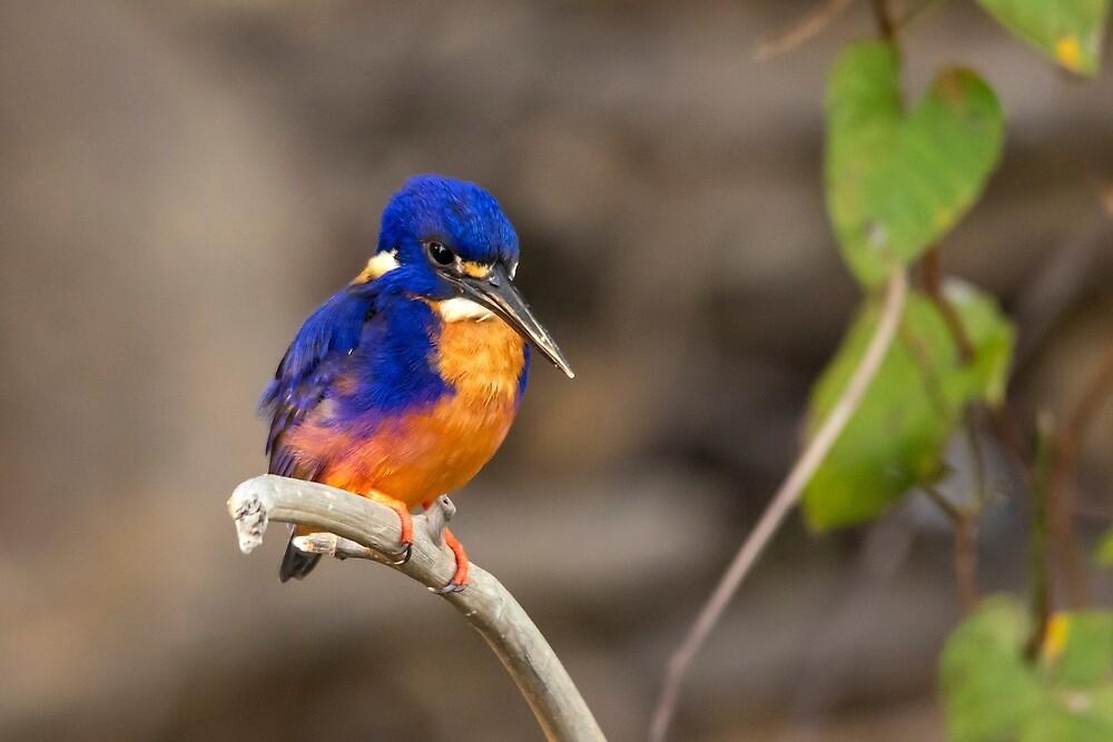 Azure Kingfisher, Kakadu National Park by Andrew Goodall