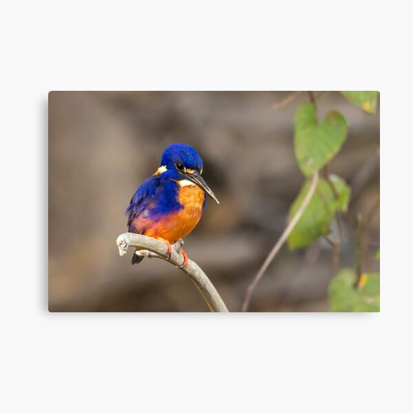 Azure Kingfisher, Kakadu National Park Metal Print