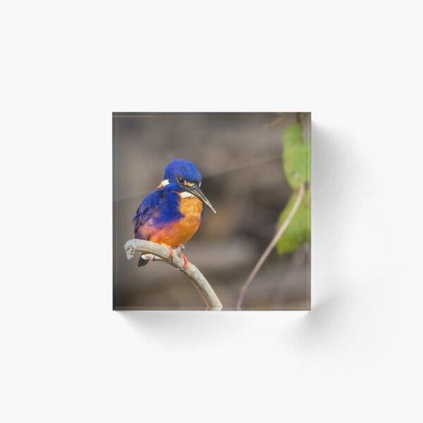 Azure Kingfisher, Kakadu National Park Acrylic Block