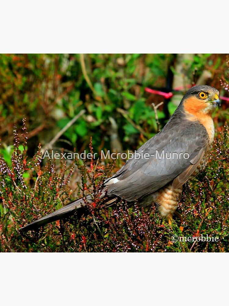 Sparrowhawk by Alexanderargyll