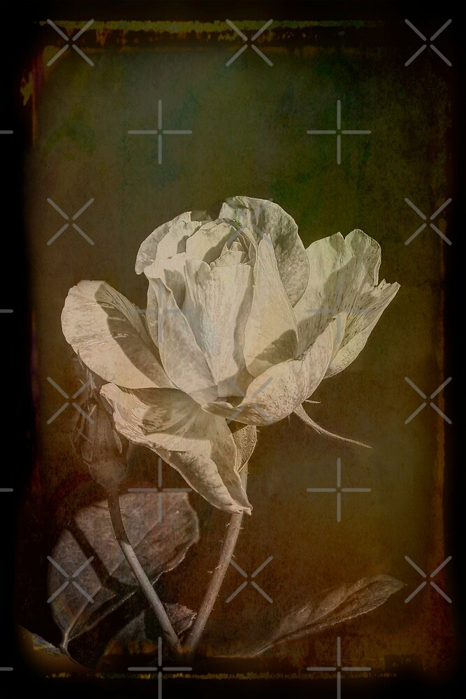 A Rose is still Rose Whatever its Colour by Elaine Teague