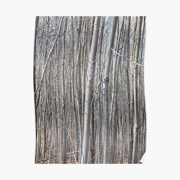 Birches Poster