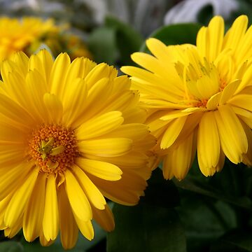 Yellow Chrysanthemum  by suddath