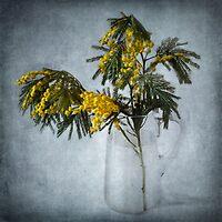 Mimosa by Barbara  Corvino