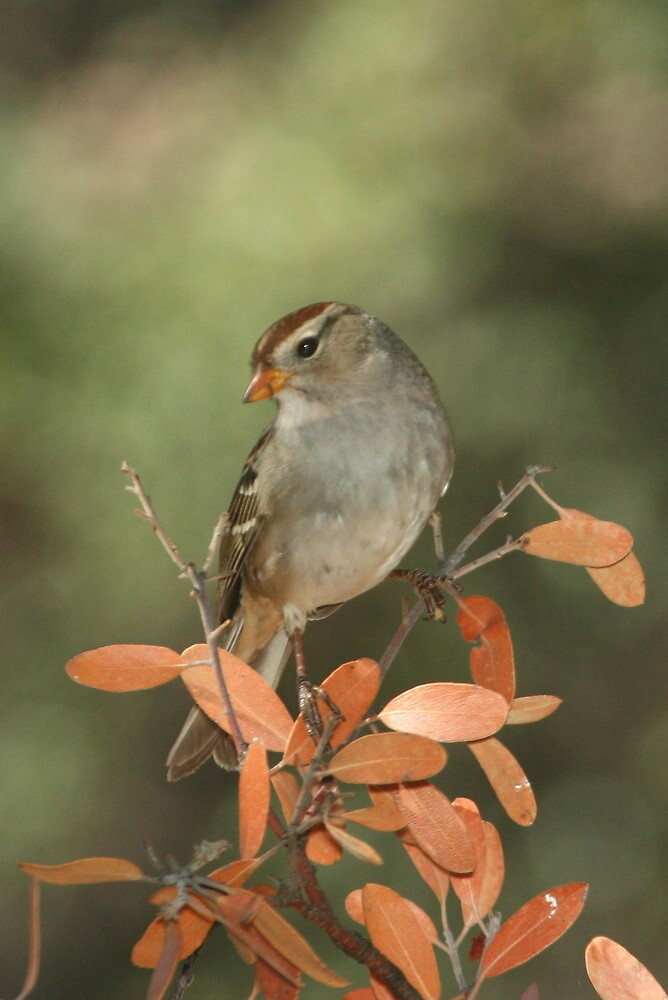 White-crowned Sparrow, immature by tonybat