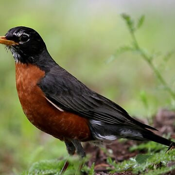 American Robin  by suddath