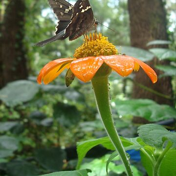 Long-tailed Skipper on Mexican Sunflower by MayLattanzio