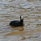 Black coot by lulisa