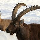Alpine Ibex (mother and child) by vette