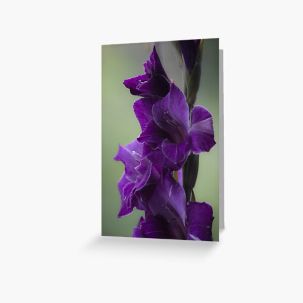 """How does velvet feel like? ... ♡‿♡....""""Dancing With Tears In My Eyes"""" . by Andrew (Brown Sugar) . Gladiolus Blue Isle  ! Views (848)   Super Ok! Fresh !!! Featured ! Greeting Card"""