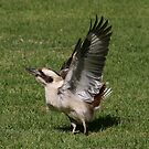 Kookaburra in Lane Cove National Park II by MoonlightJo