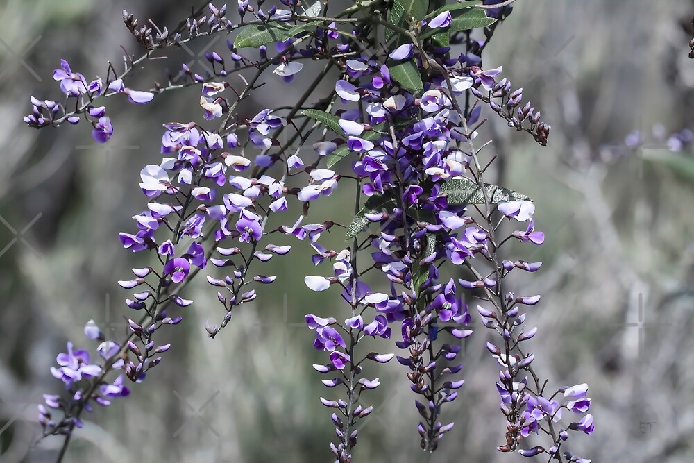 Australian Native Wisteria (Hardenbergia) by Elaine Teague