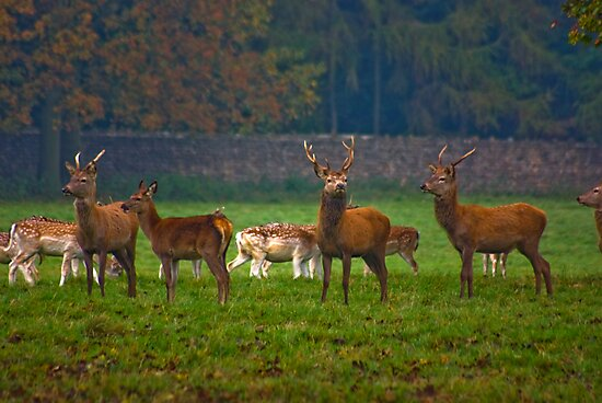 The Young Bucks  (Red Deer) by Trevor Kersley
