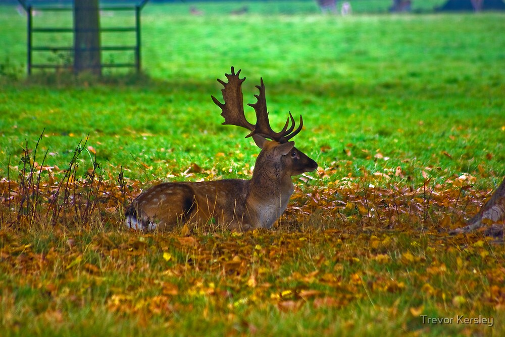 Fallow Stag Resting by Trevor Kersley