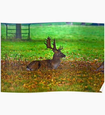 Fallow Stag Resting Poster