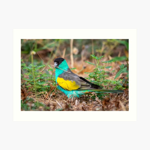 Hooded Parrot, Northern Territory Art Print