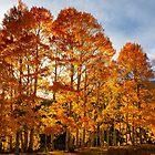 Backlit Aspen Trees by Eivor Kuchta