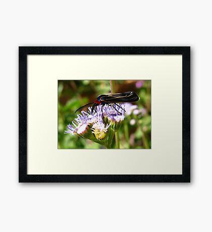 Moth ~ Veined Ctenucha  Framed Print