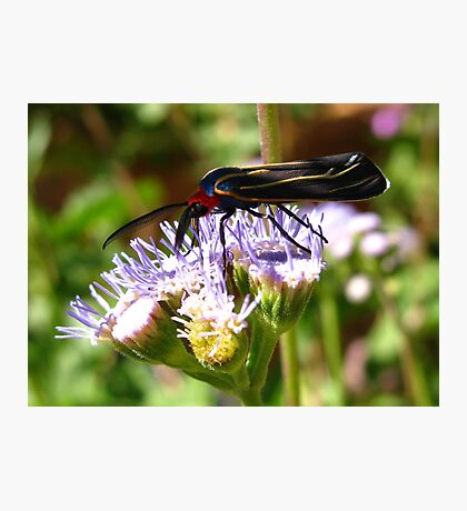 Moth ~ Veined Ctenucha  Photographic Print