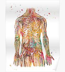 Human Body Nerves  Poster