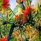 Port Lincoln Parrot by Richard  Windeyer
