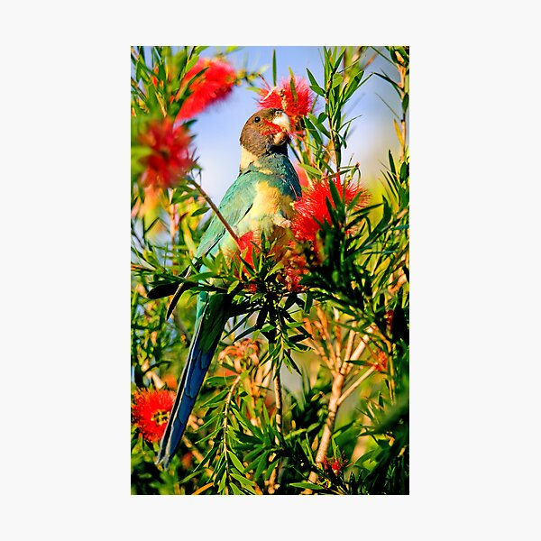 Port Lincoln Parrot Photographic Print