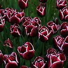Tulips in Istanbul, Geztepe Park by Kent Nickell