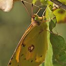 Clouded Yellow Butterfly by Tony4562