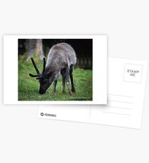 Baby Caribou Postcards